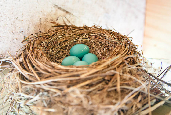 robin nest with eggs