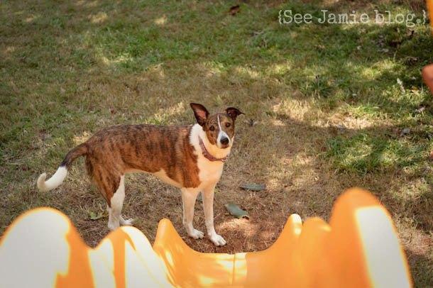 Dog looking at slide