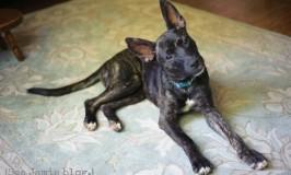 Piper the bat ear dog