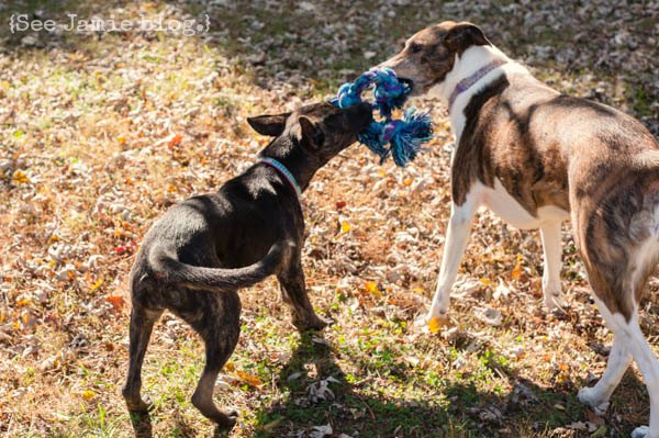 dogs play tug of war