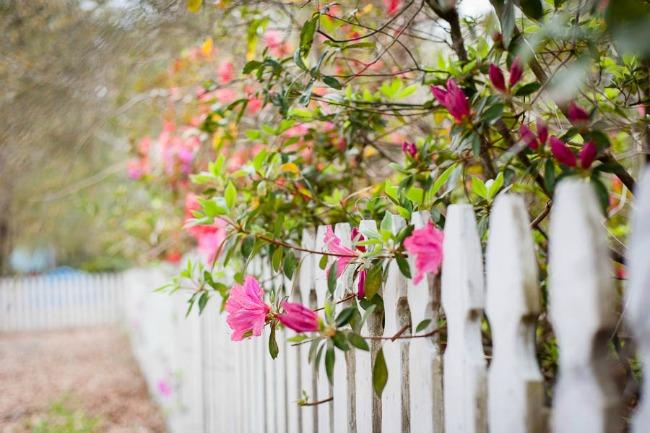 azaleas on picket fence