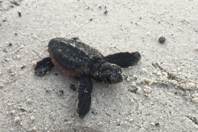 baby sea turtle hatchling