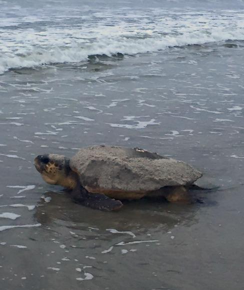 sea turtle female returning to water