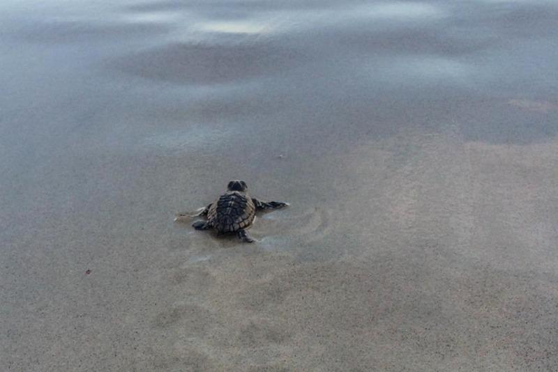 baby loggerhead sea turtle hatchling