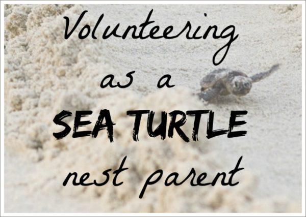 Volunteering as a sea turtle nest parent