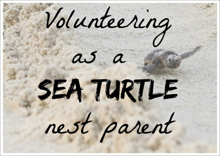 volunteering as a sea turtle nest parent