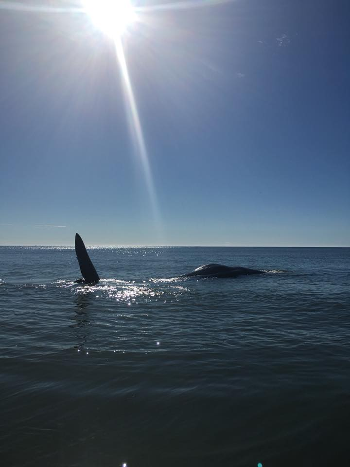 stranded young sperm whale