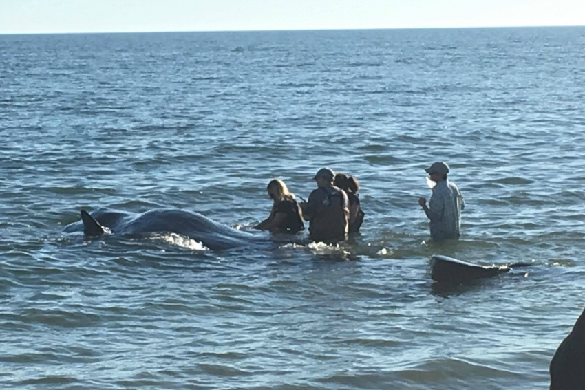biologists assess the whale