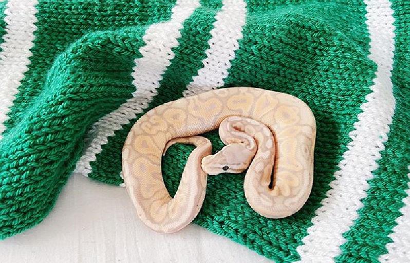 Freddie the ball python